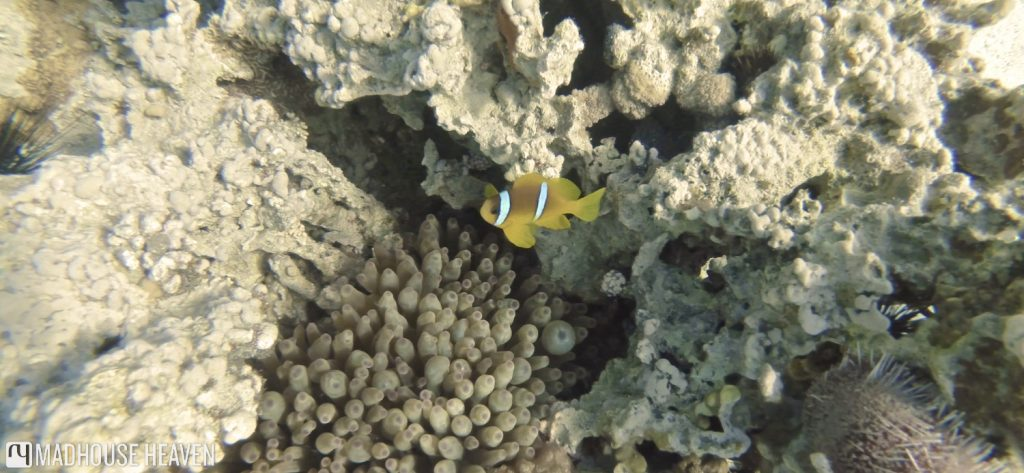 clownfish, nemo, Japanese Gardens, aqaba, jordan, review diving in aqaba