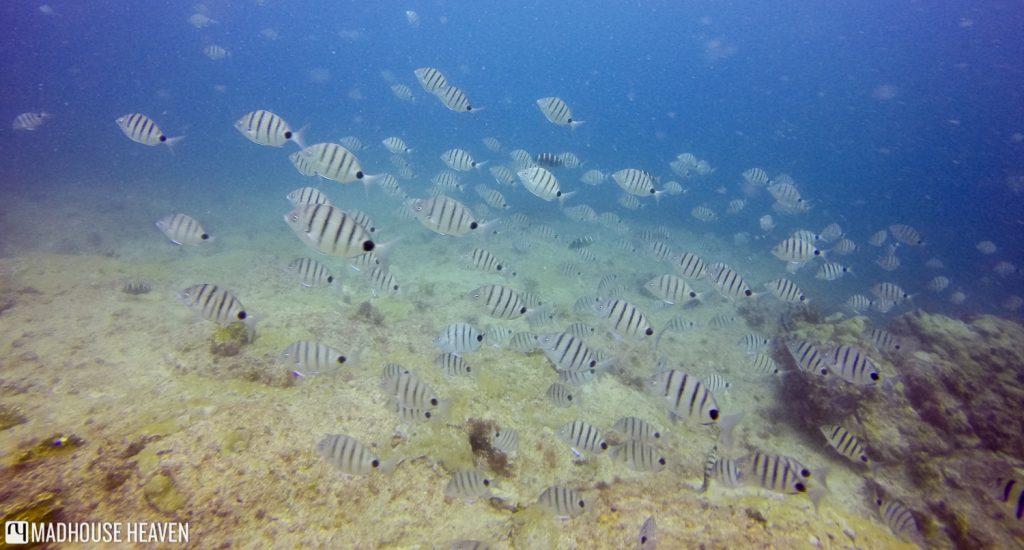 cape verde scuba diving sal blog white seabream Diplodus sargus lineatus Tres Grottos cape verde