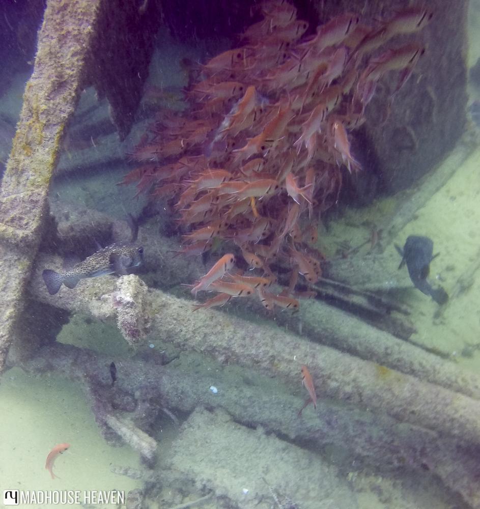 cape verde scuba diving sal blog red Soldierfish Myripristis jacobus Santo Antao wreck