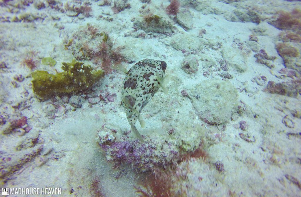 cape verde scuba diving sal blog Tres Grottos Lone long-spine porcupine fish Diodon holocanthus