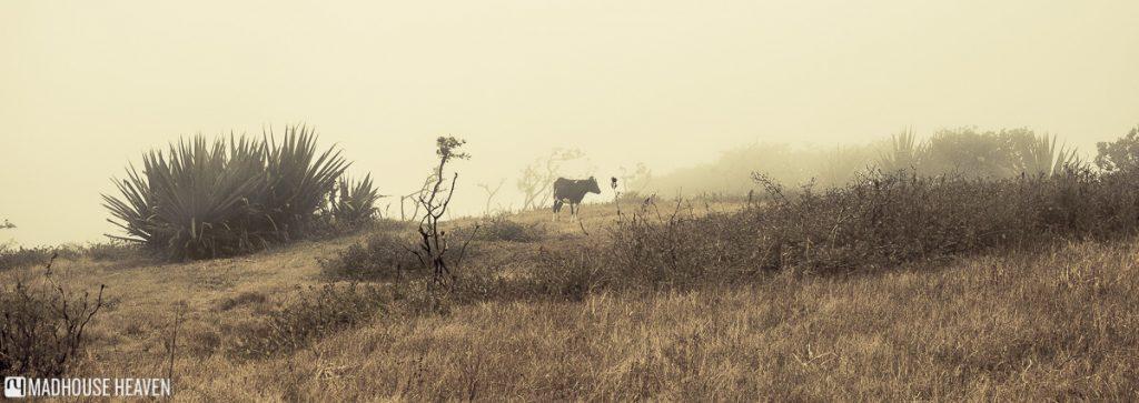 hiking on brava cape verde cow misty pasture