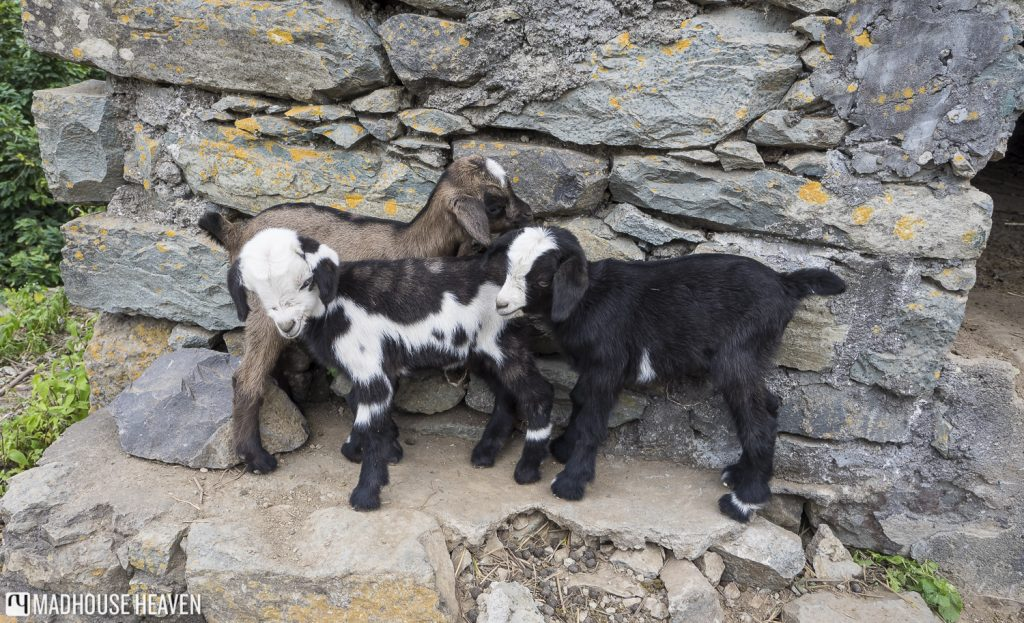 Hiking Paúl Valley cape verde santo antao baby goats