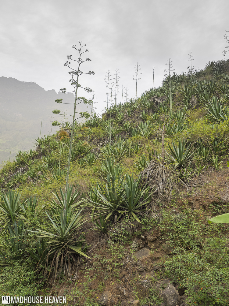Large cultivated aloe vera plants grown on steep slope on Santo Antao, Cape Verde