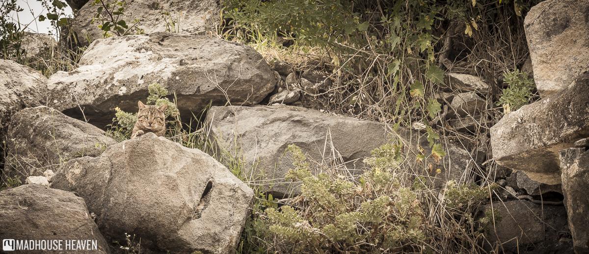jordan travel destination, brown cat hiding among gray rocks, ancient gadara