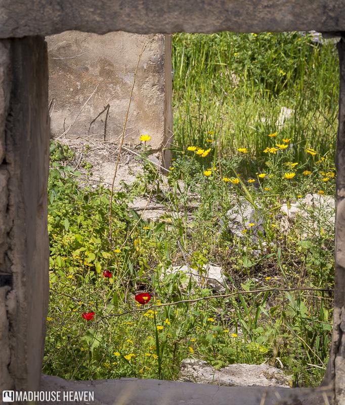 Wild Poppies growing in the ruins of Ancient Gadara, Um Qais,