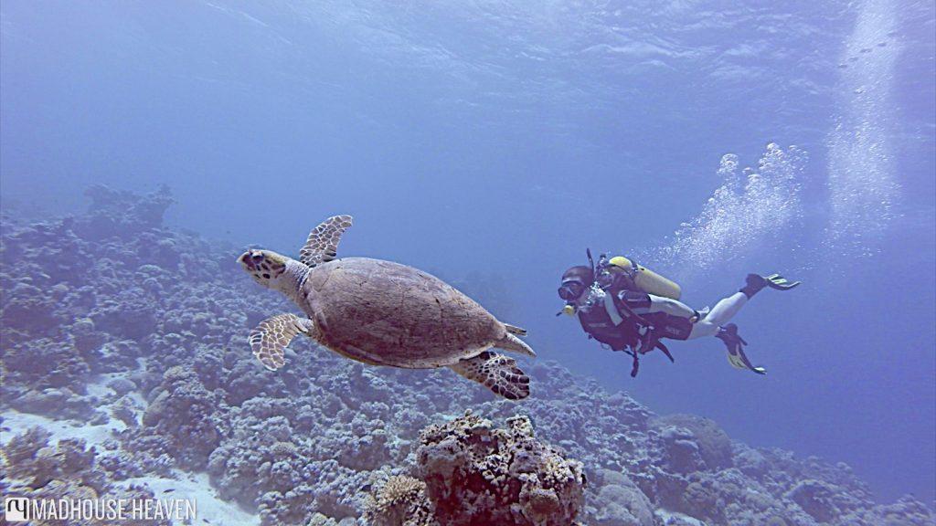 Hawksbill turtle underwater in the Japanese Gardens, Aqaba, Jordan