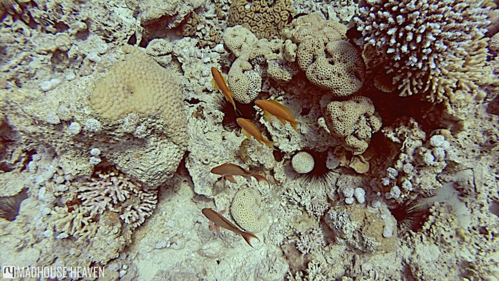 lyretailed hogfish, bodianus anthiodes, wrasse, aqaba, jordan