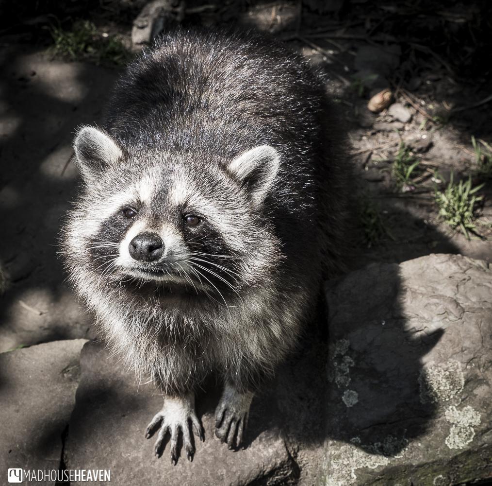 Raccoon, washing bear, artis zoo
