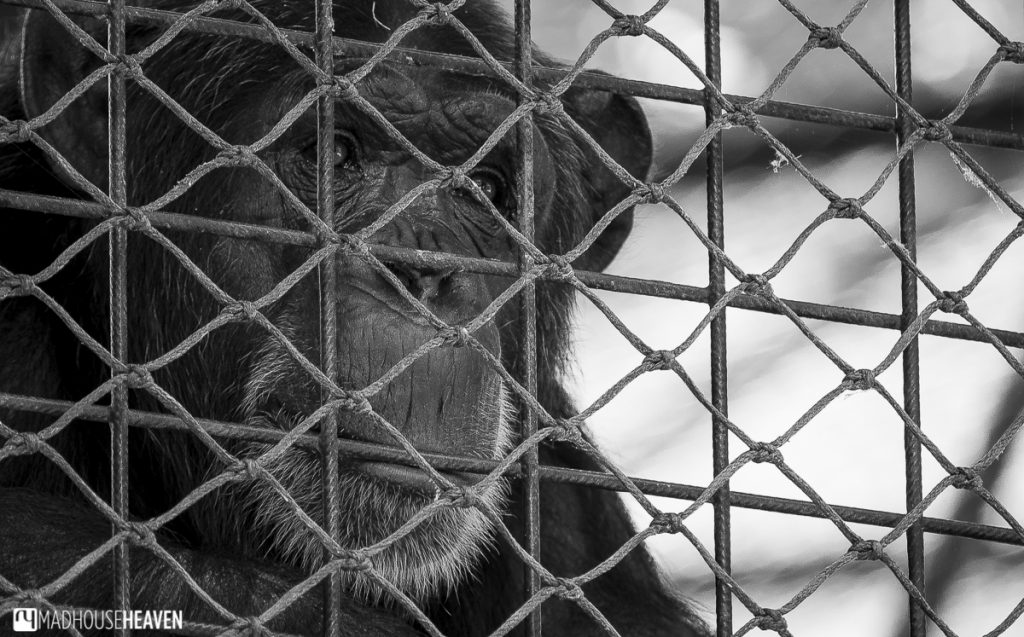 Chimpanzee in cage, artis zoo