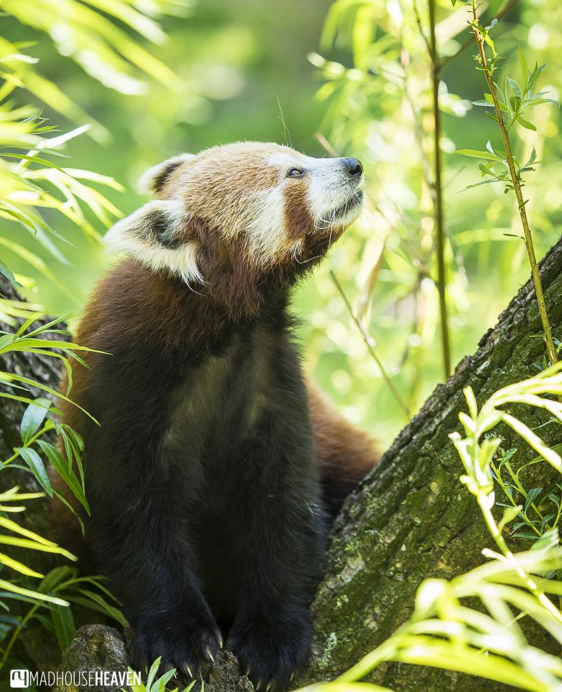 Red Panda, Artis Zoo