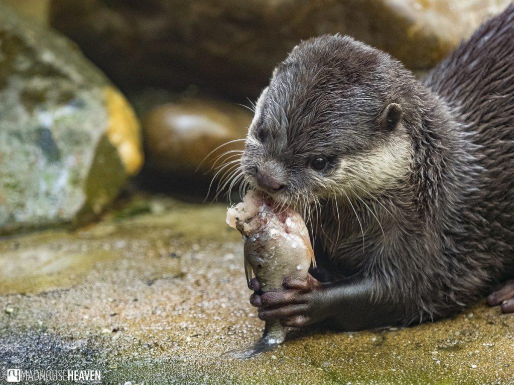 otter eating fish, artis zoo