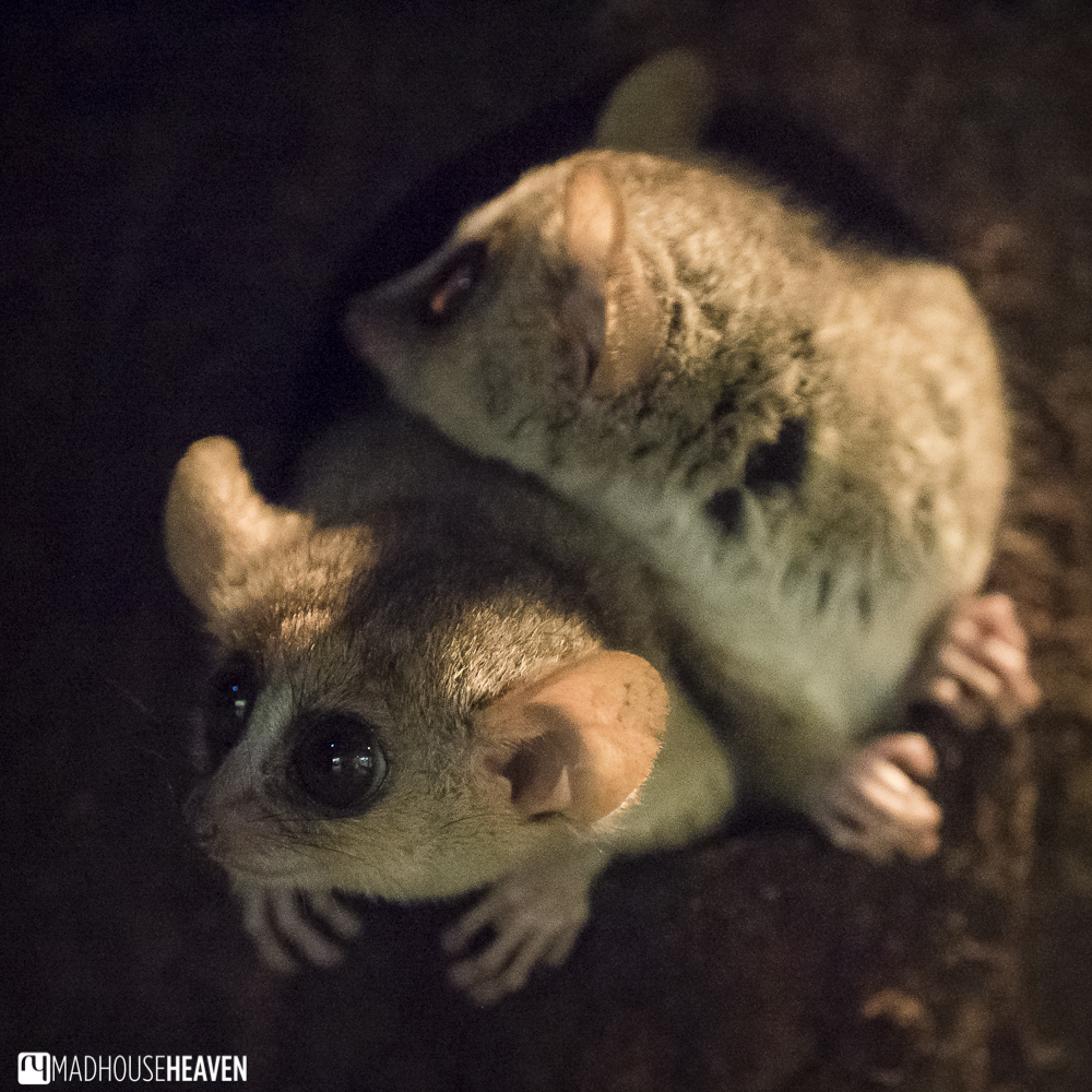 mouse lemur from Madagascar, artis zoo