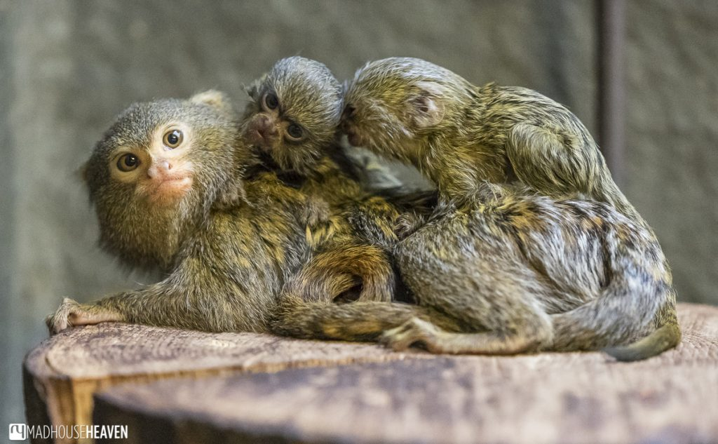 Marmoset twin babies, artis zoo