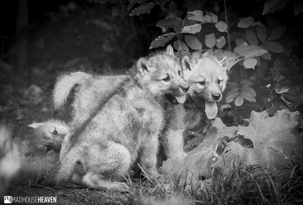 Artis Zoo Artic Wolf Pups
