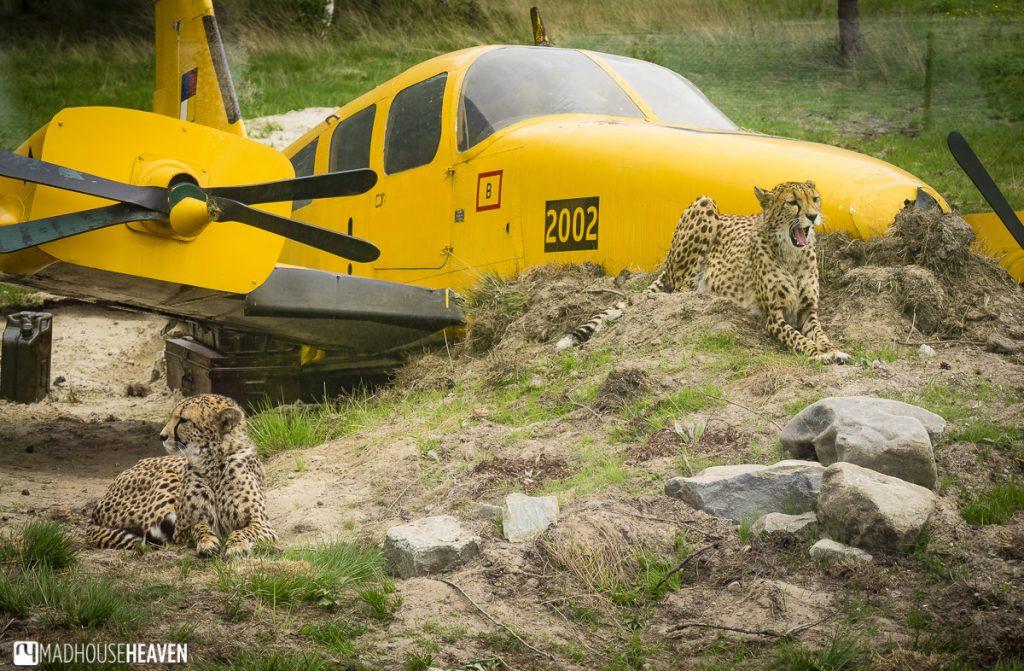 Beekse Bergen Safari Park Review, yellow plane, cheetahs