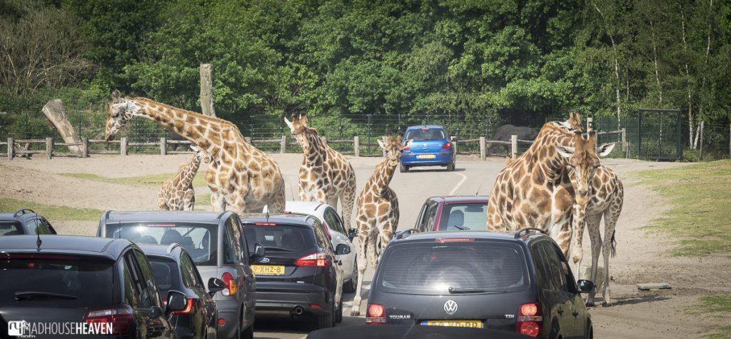 Beekse Bergen Safari Park Review, Giraffe Traffic Jam