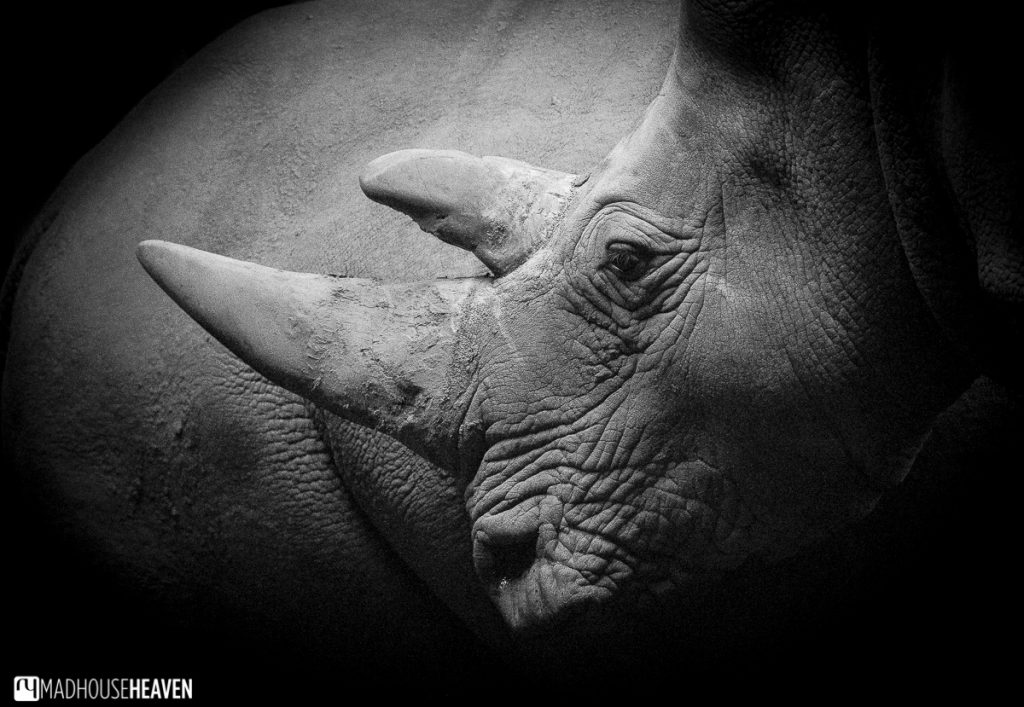 Portrait of a Rhino, Beekse Bergen Safari Park Review