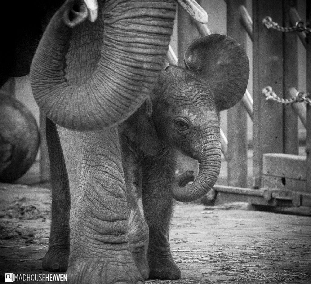 baby elephant calf, Beekse Bergen Safari Park Review