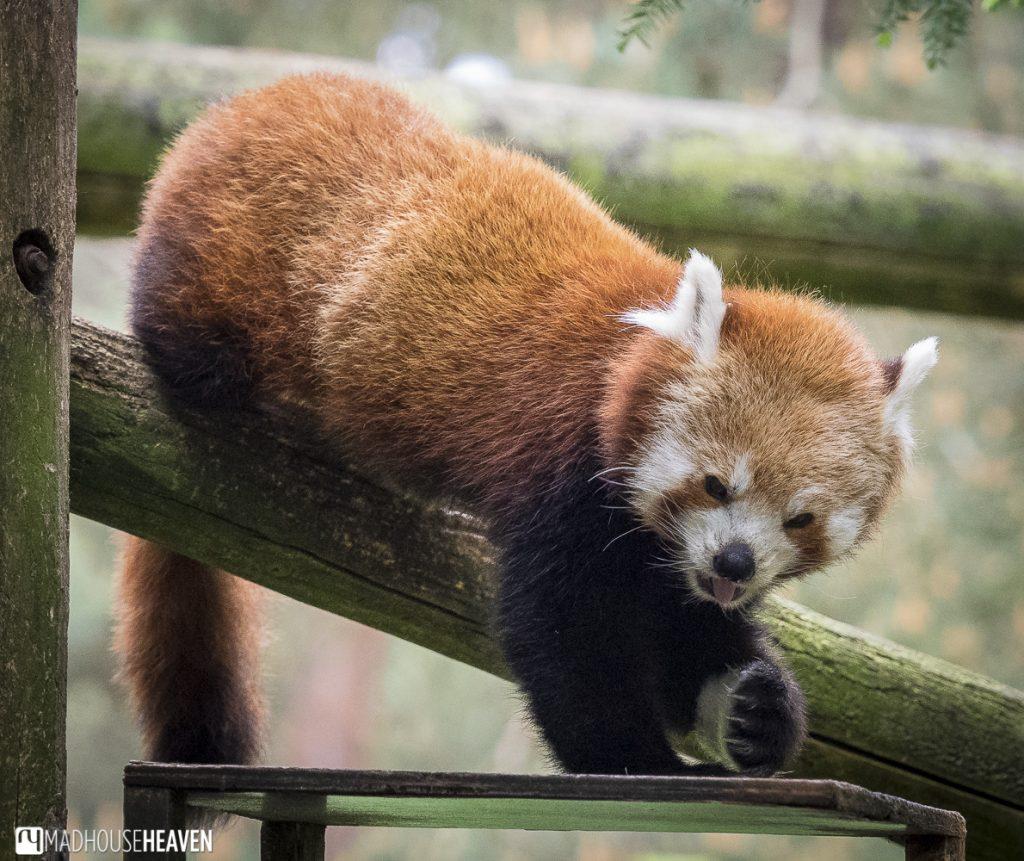 Beekse Bergen Safari Park Review, red panda feeding time,