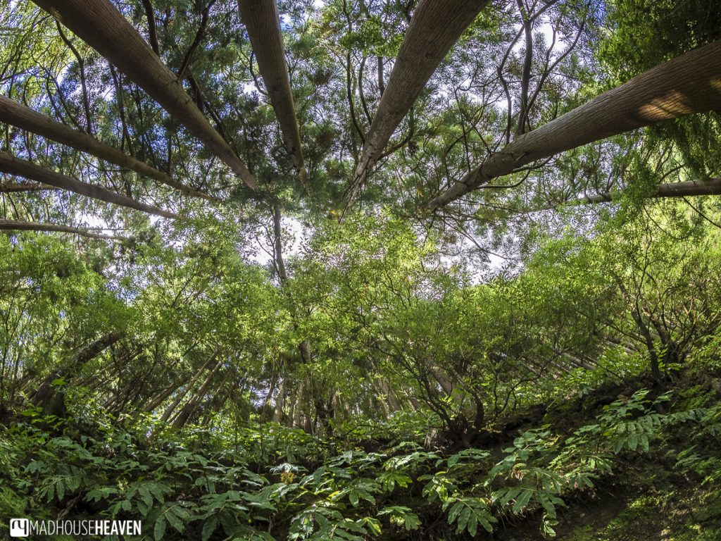 day trip around furnas lake, forest canopy, three point perspective, azores