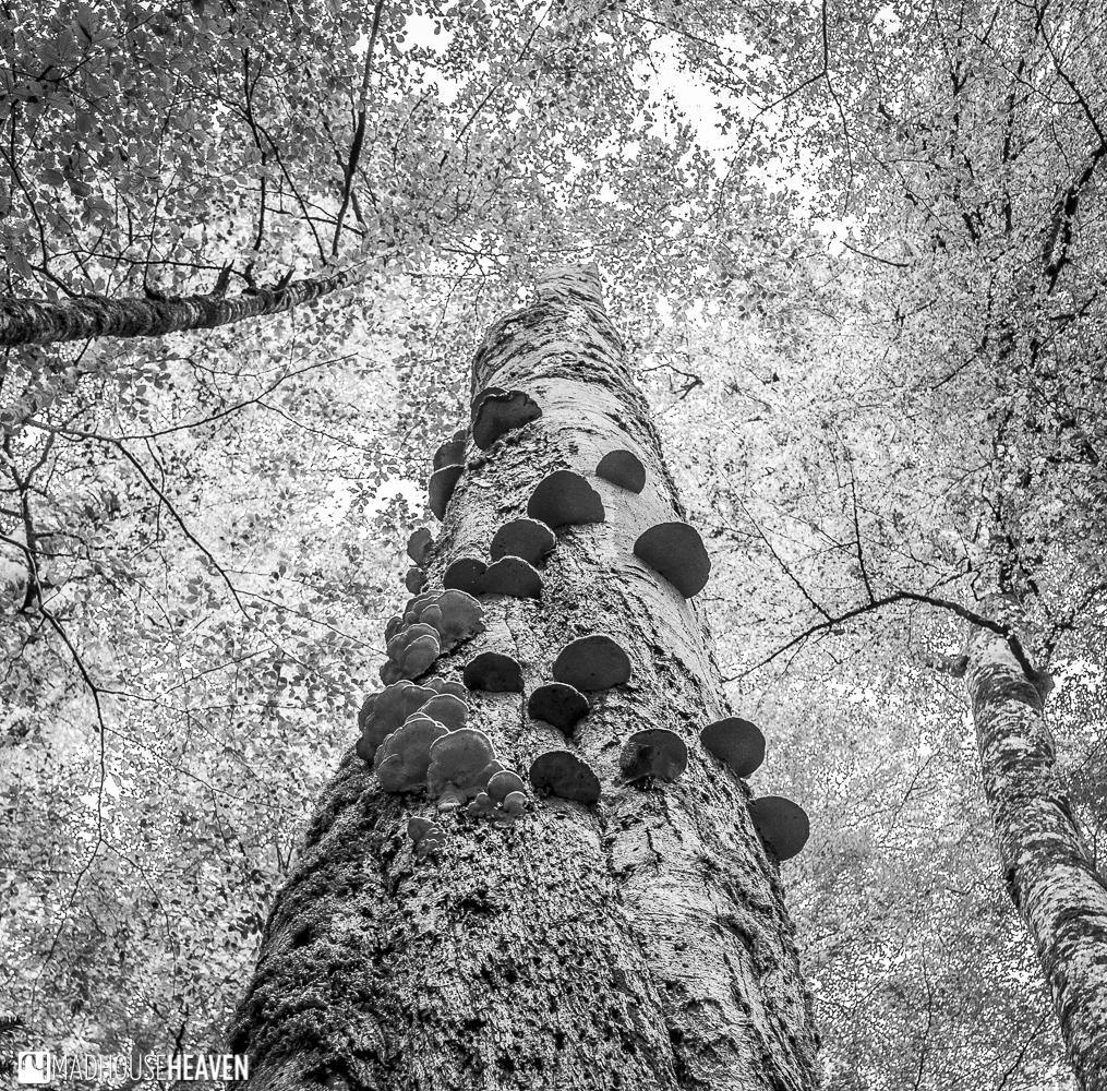 Mushrooms growing like fairy steps on the bark of a tree, Biogradska Gora National Park, Montenegro