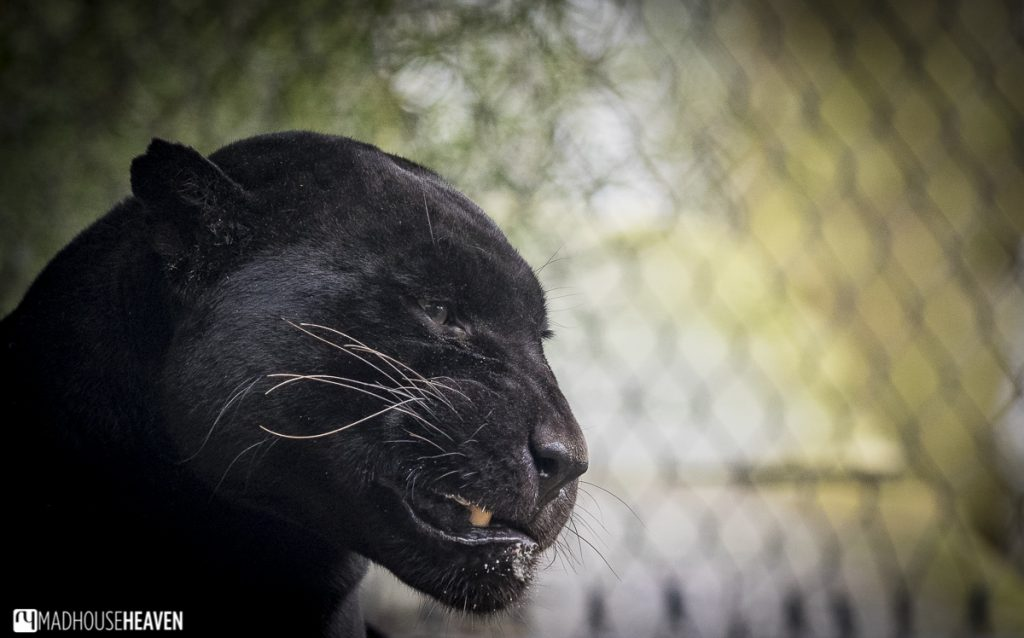 Black jaguar snarling - Artis Zoo New Enclosures