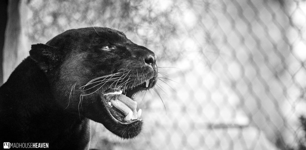 Black jaguar yawning in Artis zoo new enclosures