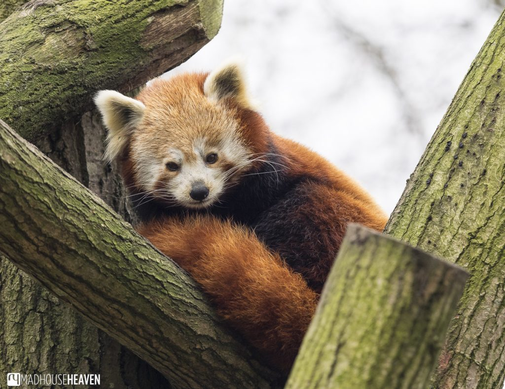 Red Panda curled up in her fluffy tail among tree branches