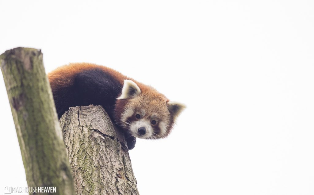 Firefox red panda curiously looking down from her tree trunk