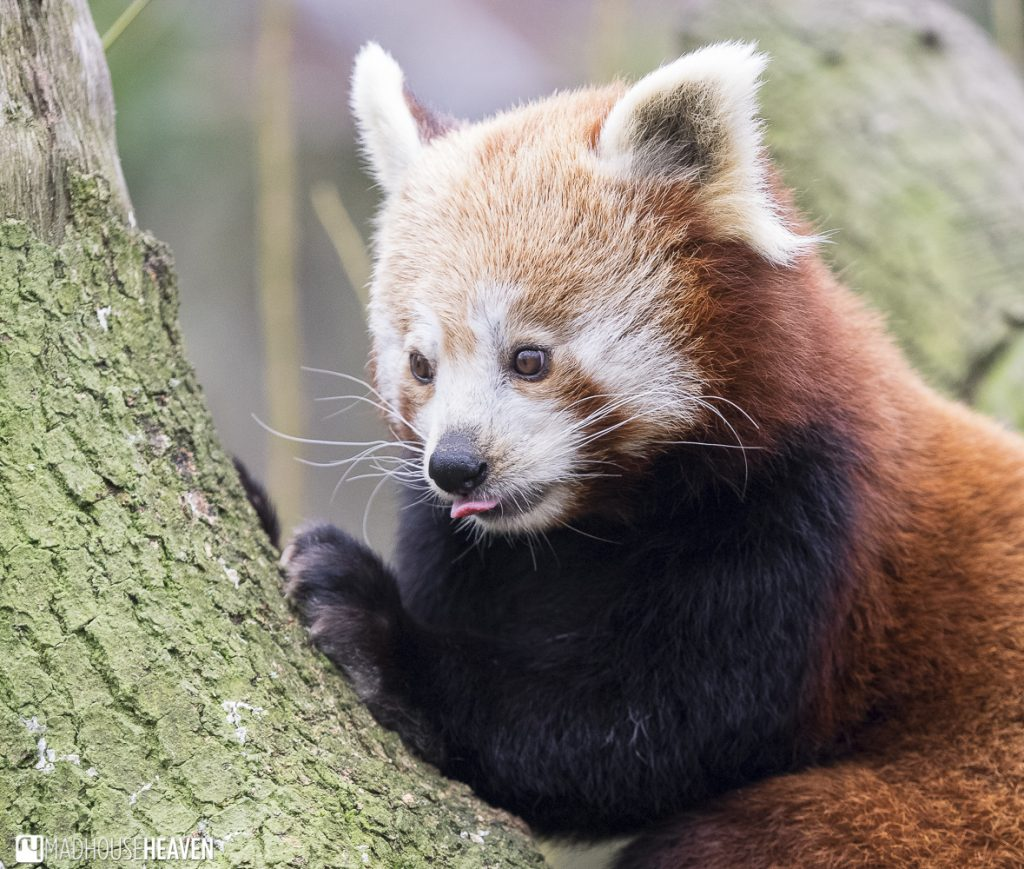 Red Panda licking her lips after eating