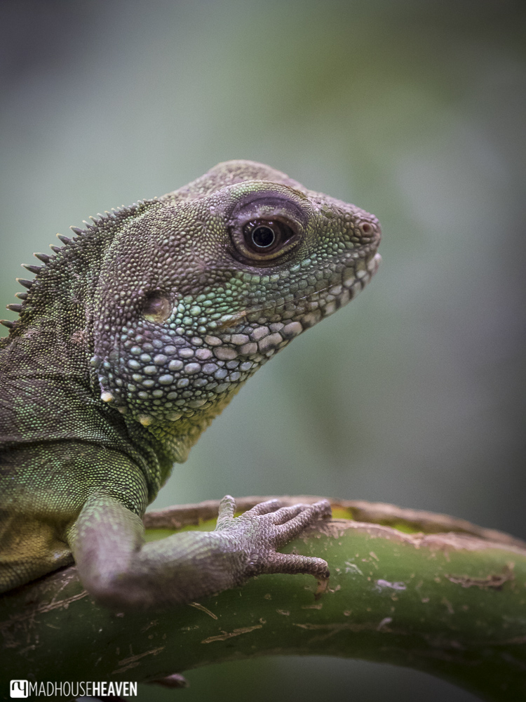A lizard with shimmering, rainbow coloured scales in an open enclosure at Artis zoo