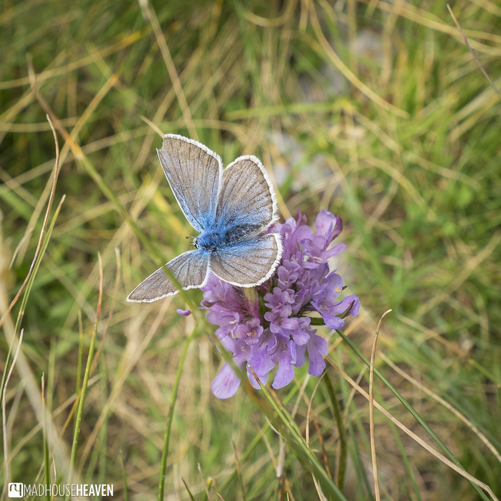 Butterfly with translucent wings tinged with blue sitting on a clutch of violets - Hike to Skrcko Lake, Durmitor, Montenegro
