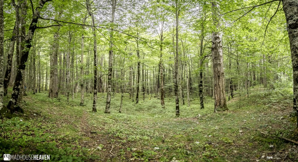 Tall, thin deciduous trees in Biogradska National Park, Montenegro