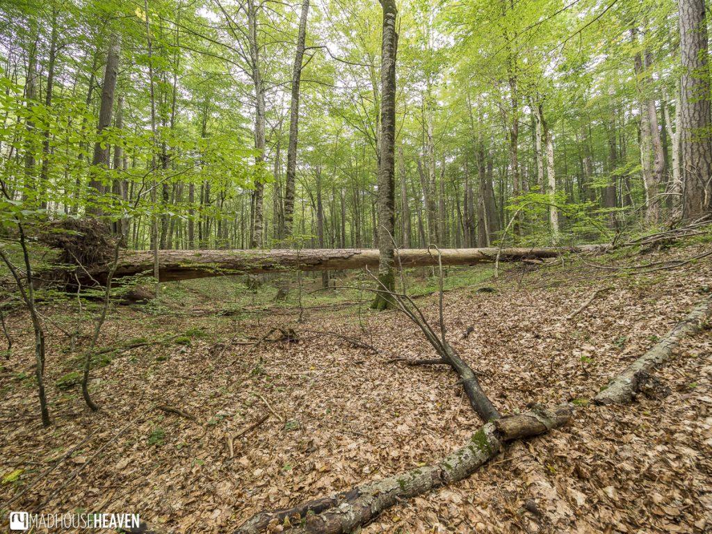 A fallen tree trunk in the silent primordial forest in Biogradska Gora National Park, Montenegro