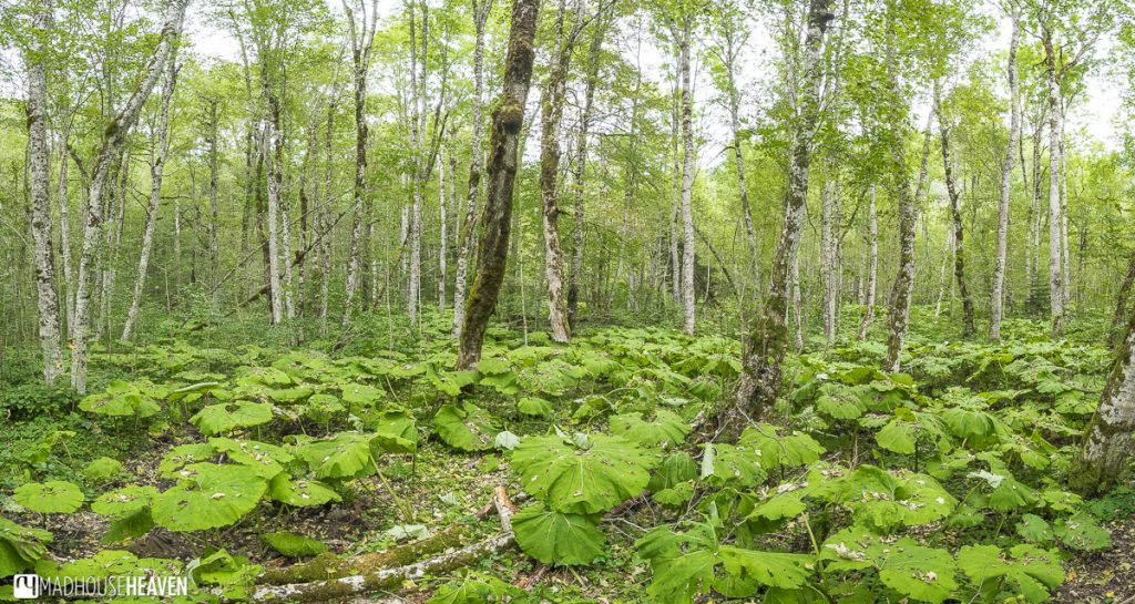 Birch tree forest with a ground covered in water lilies in Biogradska National Park, Montenegro