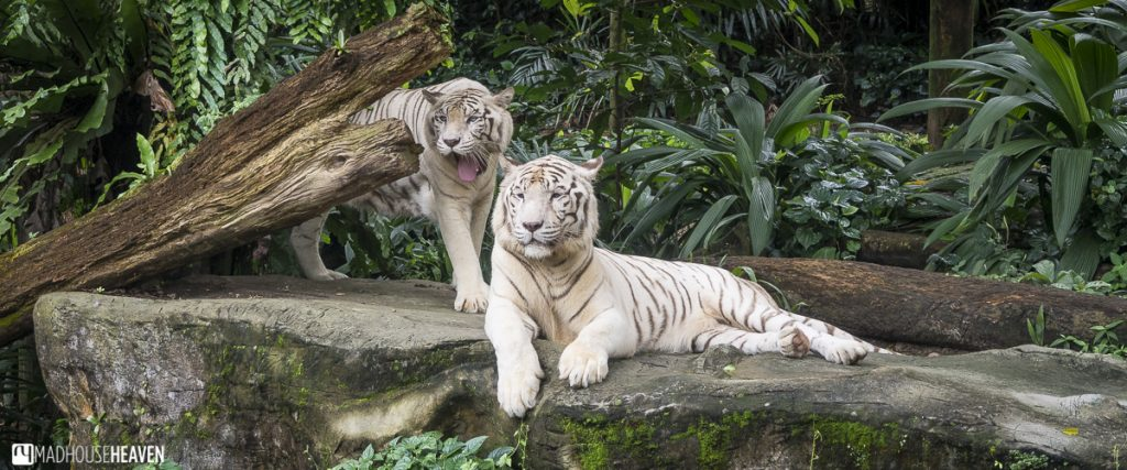 close up of white tigers in the jungle - Animals in the Singapore Zoo