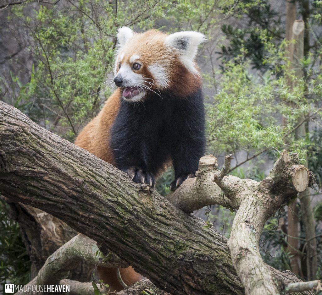 red panda river safari