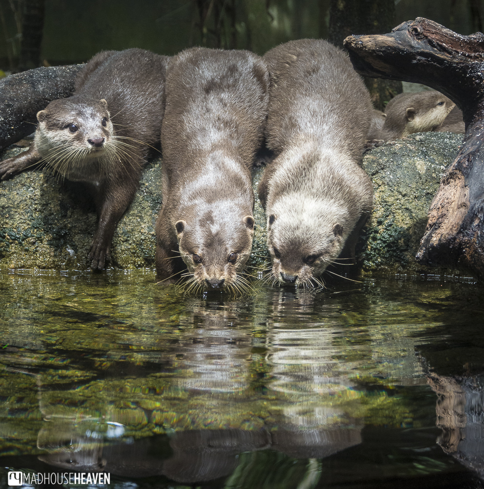 Otters drinking from a lake - Animals in the Singapore Zoo