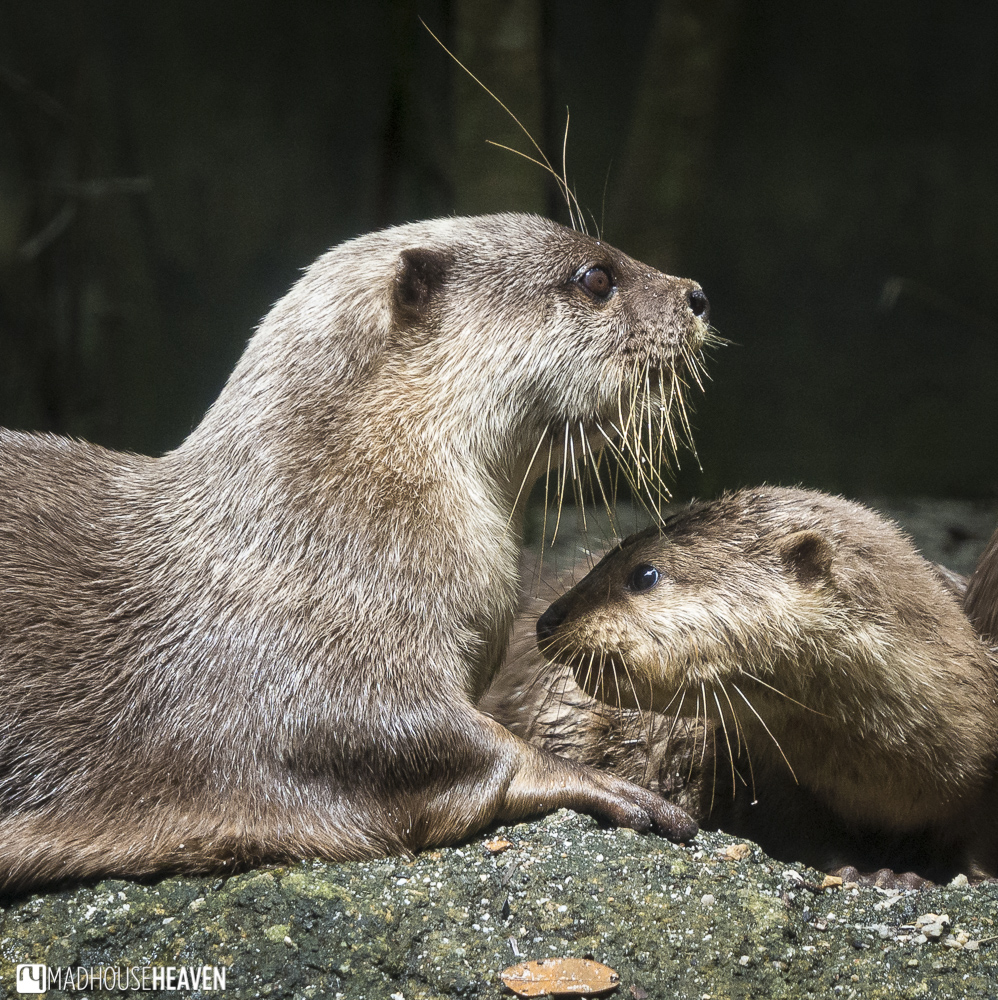 Otters hanging out together - Animals in the Singapore Zoo