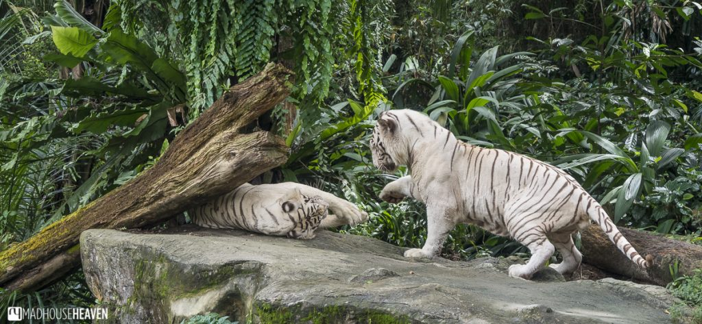 white tigers playing like cats - Animals in the Singapore Zoo