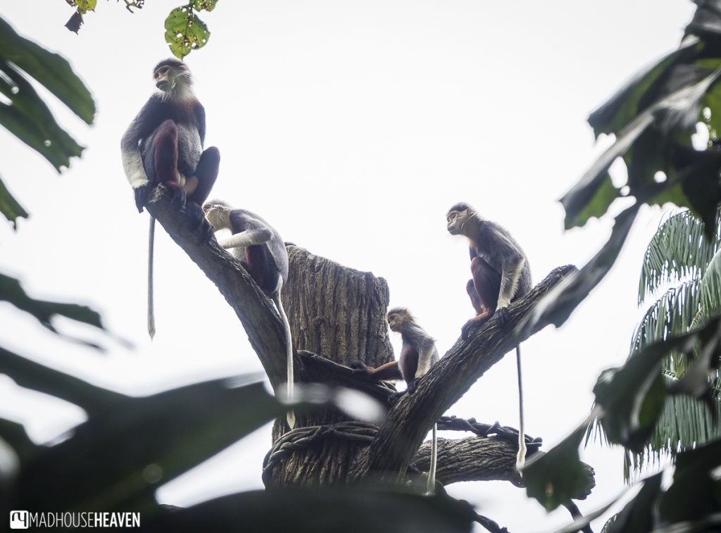 Vietnamese langur family in treetop - Animals in the Singapore Zoo