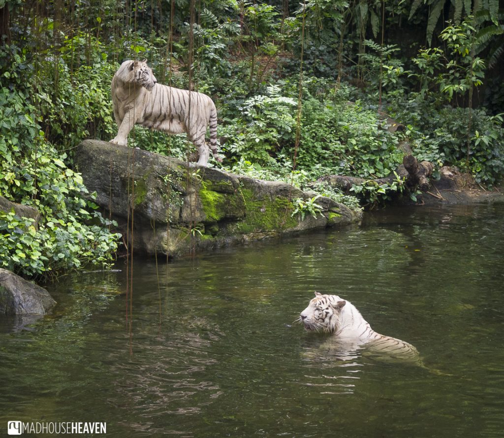 White tigers swimming in river - Animals in the Singapore Zoo