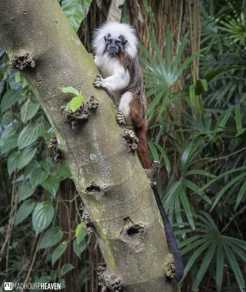 The cotton tail tamarin in the treetop trail - the animals of the singapore zoo