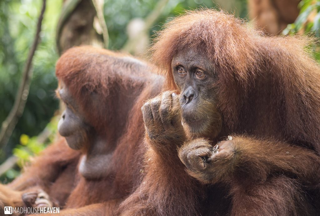 Orang utan close up and expressive - Animals in the Singapore Zoo