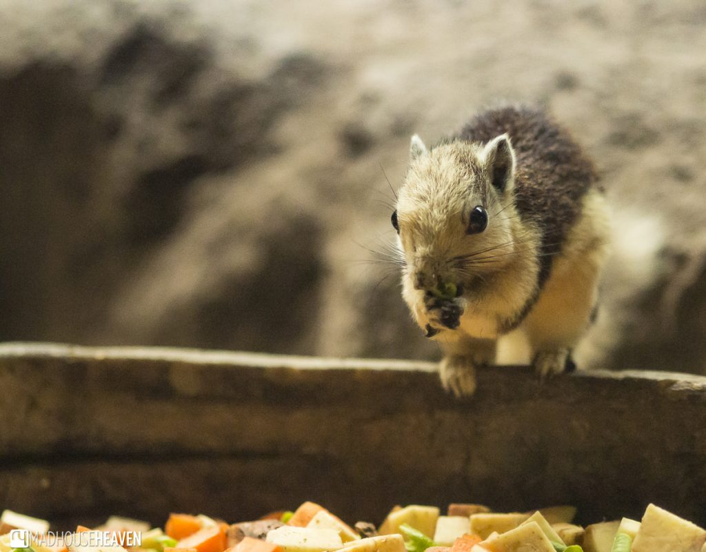 Adorable squirrel shrew eating at feeding bowl - Animals in the Singapore Zoo
