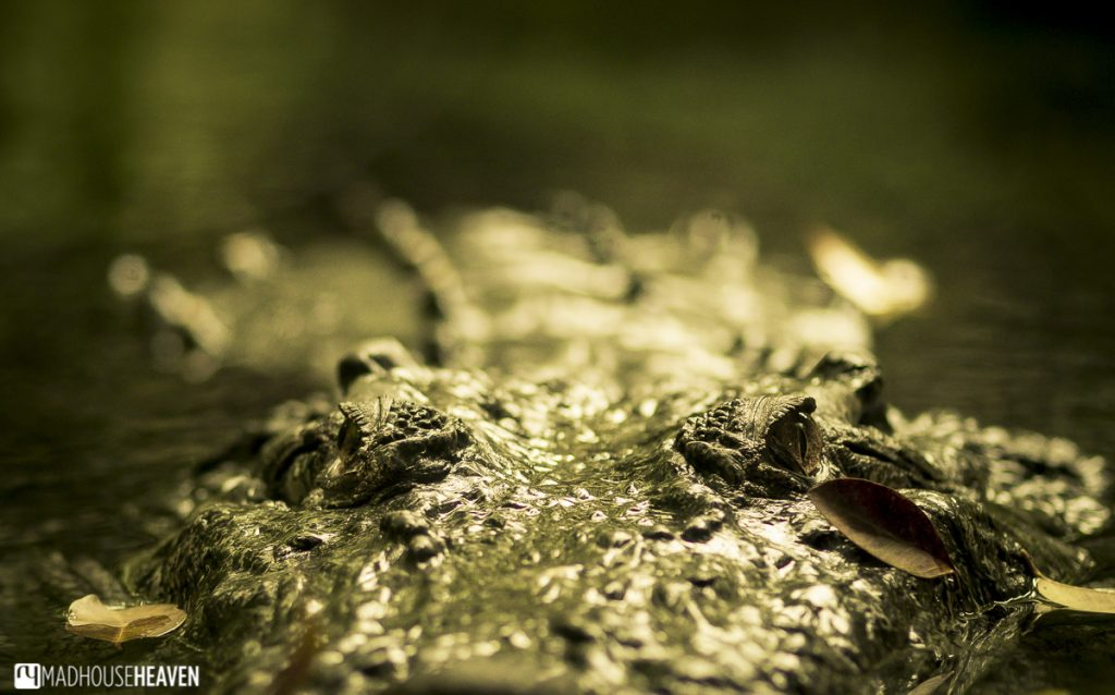 partially submerged alligator close up - the animals of the singapore zoo