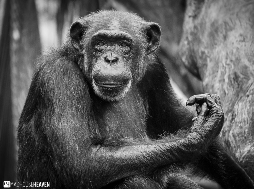 black and white chimpanzee portrait - Animals in the Singapore Zoo