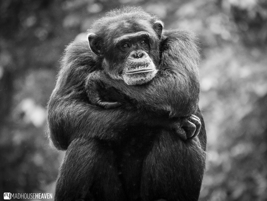 Chimpanzee philosopher pondering the meaning of life - Animals in the Singapore Zoo