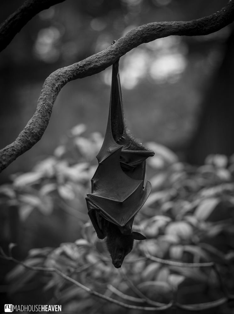flying fox bat creature of the night - the animals of the singapore zoo