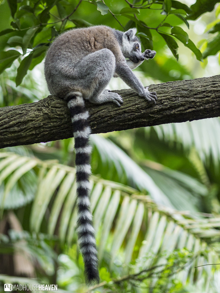the animals of the singapore zoo